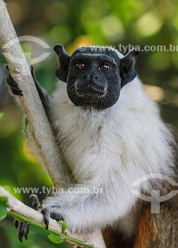 Detalhe do macaco Sauim-de-coleira (Saguinus bicolor)  - Manaus - Amazonas (AM) - Brasil