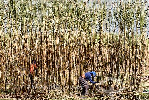 Boias-fria durante a colheita da cana-de-açúcar  - Teresina - Piauí (PI) - Brasil