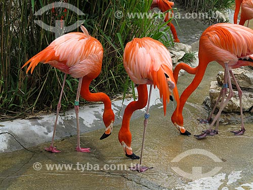 Flamingos no Jardim Zoológico de Lisboa  - Lisboa - Distrito de Lisboa - Portugal