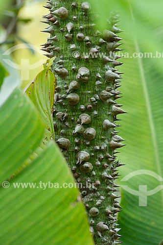 Detalhe do tronco de paineira (Ceiba speciosa) na Área de Proteção Ambiental da Serrinha do Alambari  - Resende - Rio de Janeiro (RJ) - Brasil