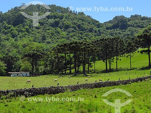 Vista de ovelhas pastando em campo com muro de taipa e araucárias (Araucaria angustifolia)  - Gramado - Rio Grande do Sul (RS) - Brasil