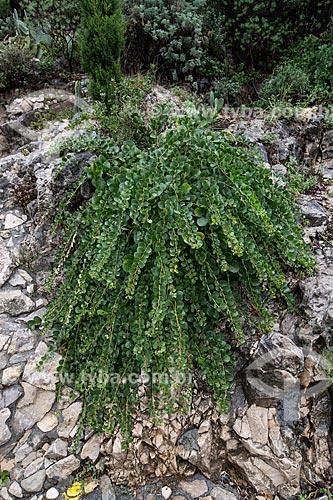 Detalhe de alcaparra (Capparis spinosa)  - Taormina - Província de Messina - Itália