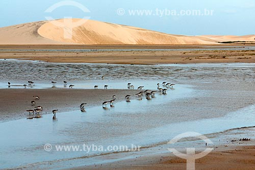 Batuíra-de-coleira (Charadrius collaris) nas dunas da Praia de Jericoacoara  - Jijoca de Jericoacoara - Ceará (CE) - Brasil