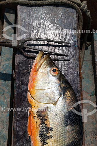 Detalhe de tucunaré (Cichla ocellaris) pescado no Rio Amazonas  - Manaus - Amazonas (AM) - Brasil