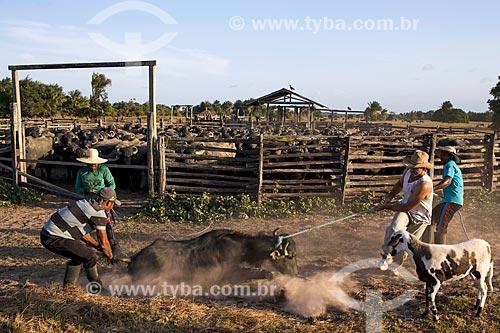 Vaqueiros laçando búfalo na Fazenda Sanjo  - Salvaterra - Pará (PA) - Brasil