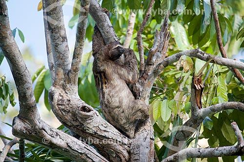 Bicho-Preguiça na Ilha de Marajó  - Pará (PA) - Brasil