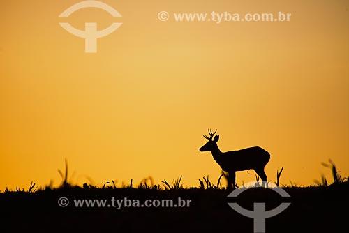 Veado-campeiro (Ozotoceros bezoarticus) - também chamado veado-branco ou veado-galheiro - no cerrado  - Brasil