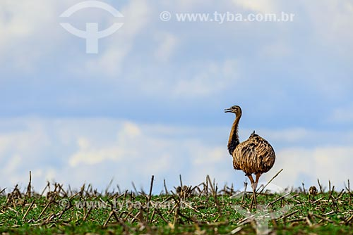 Greater rhea (Rhea americana) - sugarcane plantation  - Mato Grosso do Sul state (MS) - Brazil