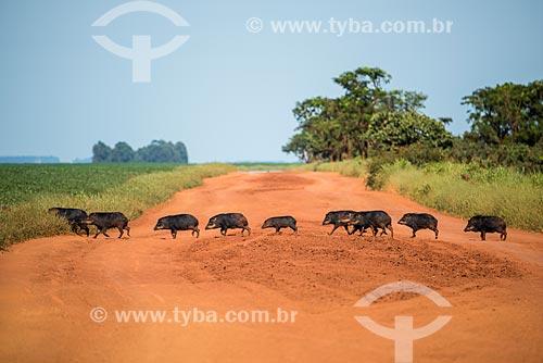 Bando de queixada (Tayassu pecari) - também conhecido como canela-ruiva, sabacu, porco-do-mato ou pecari - no cerrado  - Goiás (GO) - Brasil