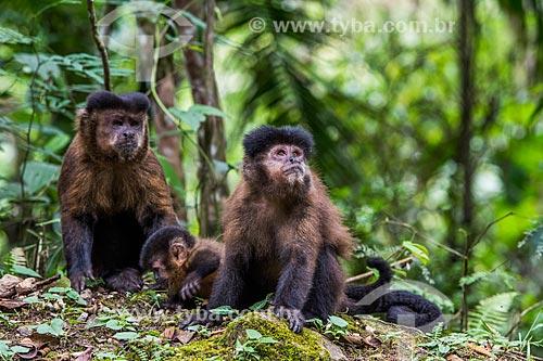 Macacos-prego (Sapajus nigritus) no Parque Nacional de Itatiaia  - Itatiaia - Rio de Janeiro (RJ) - Brasil