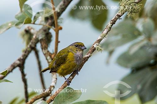 Detalhe de pássaro próximo ao Hotel do Ypê no Parque Nacional de Itatiaia  - Itatiaia - Rio de Janeiro (RJ) - Brasil