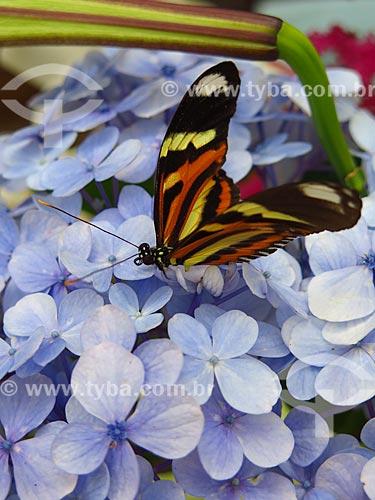 Detalhe de borboleta pousada em Hortênsia (Hydrangea macrophylla)  - Canela - Rio Grande do Sul (RS) - Brasil
