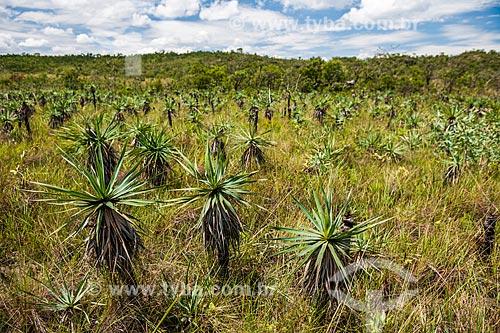 Canela-de-ema (Vellozia squamata) durante a trilha para o Mirante da Janela no Parque Nacional da Chapada dos Veadeiros  - Alto Paraíso de Goiás - Goiás (GO) - Brasil