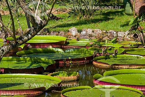 Vitória-régia (Victoria amazonica) no Jardim Botânico do Rio de Janeiro  - Rio de Janeiro - Rio de Janeiro (RJ) - Brasil