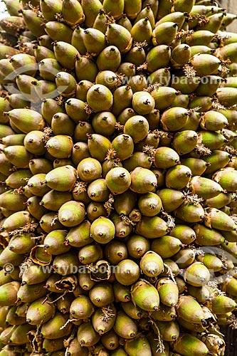 Detalhe de cacho de frutos do Uricurizeiro (Attalea phalerata)  - Palmas - Tocantins (TO) - Brasil