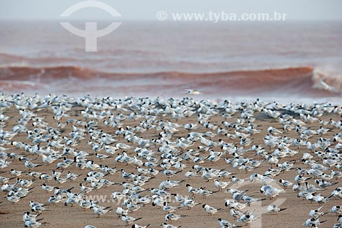 Bando de andorinhas-do-mar (Sterna hirundo) na orla da praia de Regência após o rompimento de barragem de rejeitos de mineração da empresa Samarco em Mariana (MG)  - Linhares - Espírito Santo (ES) - Brasil