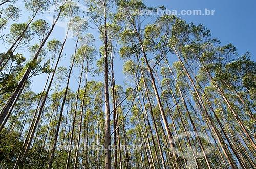 Detalhe de plantação de eucalipto no distrito de Cisneiros  - Palma - Minas Gerais (MG) - Brasil
