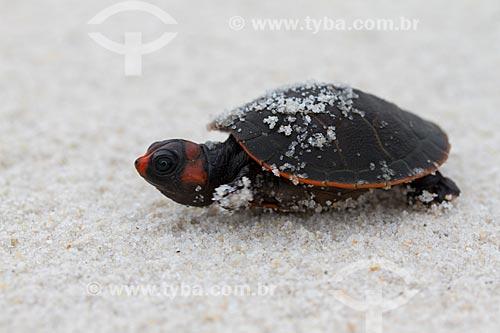 Detalhe de filhote de Tartaruga Irapuca (Podocnemis erythrocephala)  - Barcelos - Amazonas (AM) - Brasil