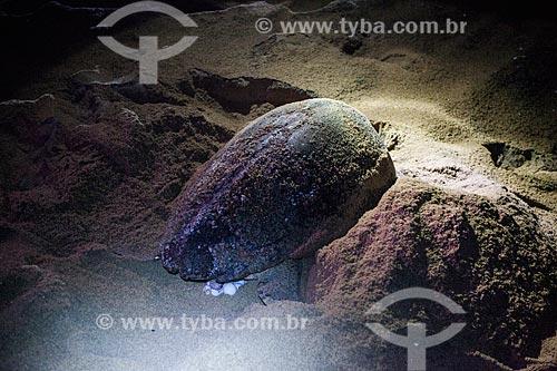 Tartaruga marinha colocando ovos sob o acompanhamento de voluntários do Projeto TAMAR  - Linhares - Espírito Santo (ES) - Brasil