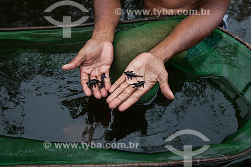 Detalhe de Ituí-cavalo (Apteronotus albifrons) no Rio Negro  - Barcelos - Amazonas (AM) - Brasil