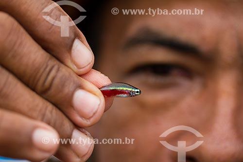 Detalhe de cardinal (Paracheirodon axelrodi) no Rio Negro  - Barcelos - Amazonas (AM) - Brasil