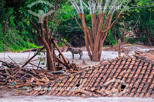 Burro vagando no distrito de Paracatu de Baixo após o rompimento de barragem de rejeitos de mineração da empresa Samarco em Mariana (MG)  - Mariana - Minas Gerais (MG) - Brasil