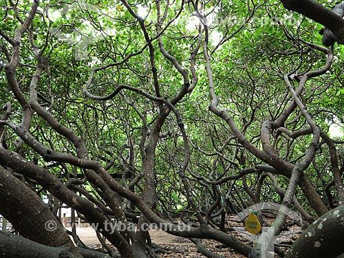 Cajueiro de Pirangi - Considerado o maior cajueiro do mundo  - Parnamirim - Rio Grande do Norte (RN) - Brasil