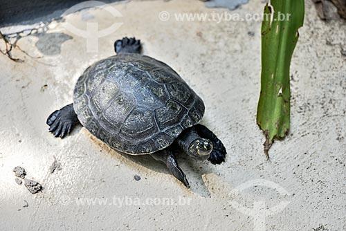 Tracajá (Podocnemis unifilis) - no Bosque da Ciência do Instituto Nacional de Pesquisas da Amazônia (INPA)  - Manaus - Amazonas (AM) - Brasil