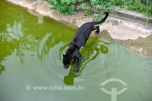 Onça-preta (Panthera onca) no jardim zoológico do Centro de Instrução de Guerra na Selva  - Manaus - Amazonas (AM) - Brasil