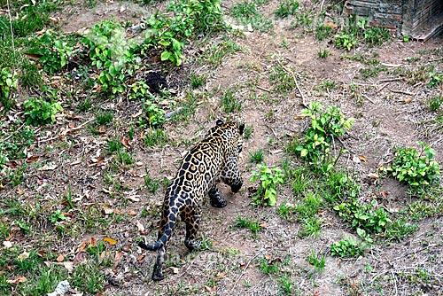 Onça pintada (Panthera onca) no jardim zoológico do Centro de Instrução de Guerra na Selva  - Manaus - Amazonas (AM) - Brasil