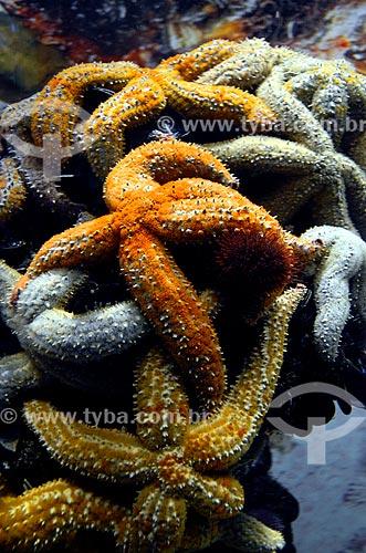 Estrela-do-mar no Two Oceans Aquarium (Aquário Dois Oceanos)  - Cidade do Cabo - Província do Cabo Ocidental - África do Sul