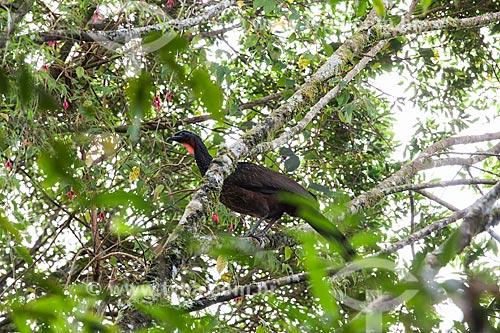 Jacuguaçu (Penelope obscura) - também conhecida como Jacuaçu - no Parque Nacional da Serra dos Órgãos  - Teresópolis - Rio de Janeiro (RJ) - Brasil