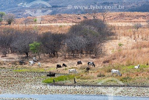 Gado mestiço em pasto seco da Caatinga  - São José de Piranhas - Paraíba (PB) - Brasil