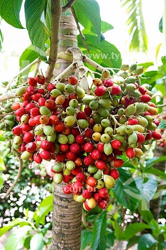 Detalhe do frutos da palmeira no Hotel Lakaz Chamarel Exclusive Lodge  - Distrito de Black River - Maurício