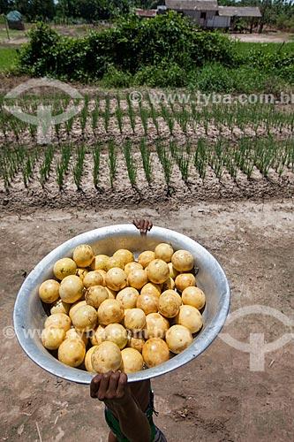 Colheita de maracujá em plantação de várzea  - Iranduba - Amazonas (AM) - Brasil