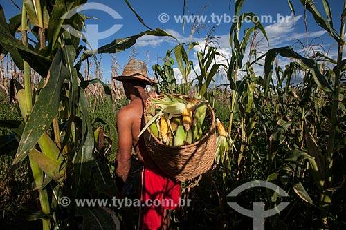 Colheita de milho em plantação de várzea do Rio Amazonas  - Iranduba - Amazonas (AM) - Brasil