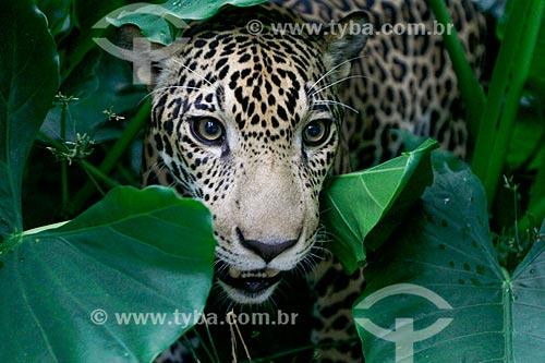 Onça (Panthera onca) - Comando Militar da Amazônia  - Manaus - Amazonas (AM) - Brasil