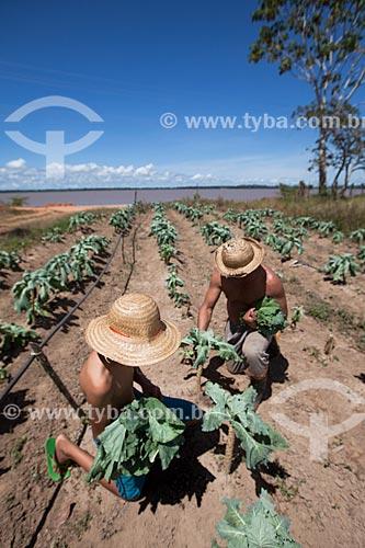 Colheita de couve em plantação de várzea  - Iranduba - Amazonas (AM) - Brasil