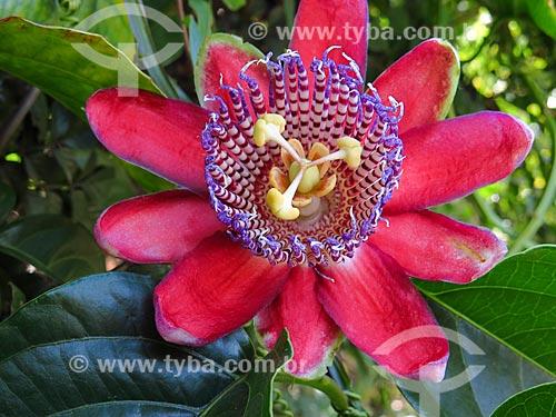 Flor de Maracujá  - Canela - Rio Grande do Sul (RS) - Brasil