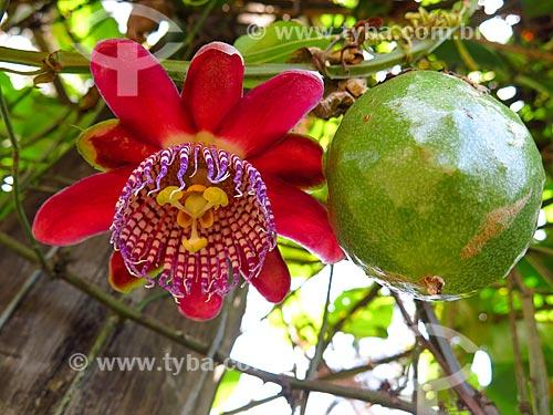 Flor e fruto de Maracujá  - Canela - Rio Grande do Sul (RS) - Brasil
