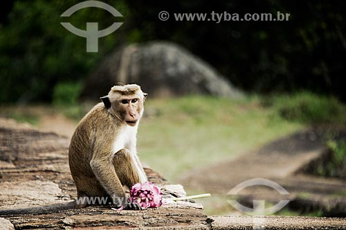 Macaco com flor-de-lótus (Nelumbo nucifera)  - Sri Lanka