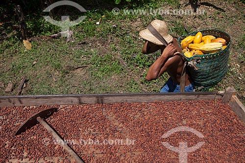 Produtor durante a secagem e colheita de cacau nativo na região do Rio Madeira  - Novo Aripuanã - Amazonas (AM) - Brasil