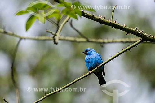 Detalhe de Saí-azul (Dacnis cayana) - também conhecido como Saí-bicudo - na Área de Proteção Ambiental da Serrinha do Alambari  - Resende - Rio de Janeiro (RJ) - Brasil