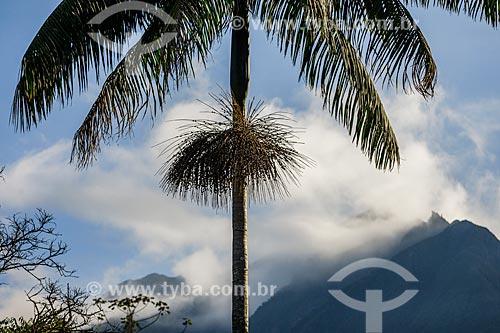 Içara (Euterpe edulis Martius) - também conhecida como juçara, jiçara ou palmito-juçara - na Área de Proteção Ambiental da Serrinha do Alambari  - Resende - Rio de Janeiro (RJ) - Brasil