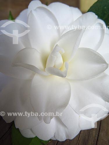 Detalhe de flor de camélia (Camellia japonica)  - Canela - Rio Grande do Sul (RS) - Brasil