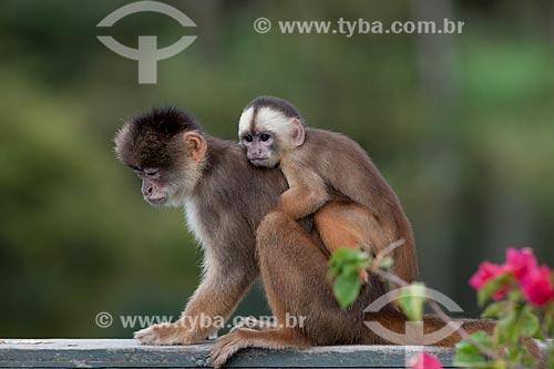 Detalhe de macaco cairara (Cebus kaapori) com filhote  - Manaus - Amazonas (AM) - Brasil