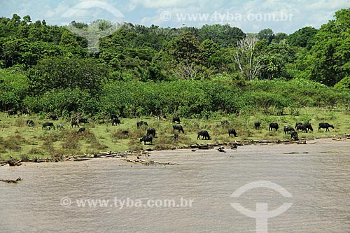 Criação de búfalos às margens do Rio Amazonas  - Careiro da Várzea - Amazonas (AM) - Brasil
