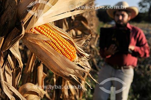 Detalhe de espiga em plantação com agricultor com laptop ao fundo a colheita mecanizada  - Mirassol - São Paulo (SP) - Brasil