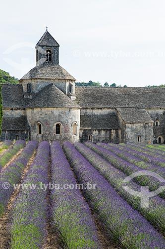Campos de lavanda com a Notre-Dame de Sénanque Abbey (Abadia de Notre-Dame de Sénanque) - 1148 - ao fundo  - Gordes - Departamento de Vaucluse - França