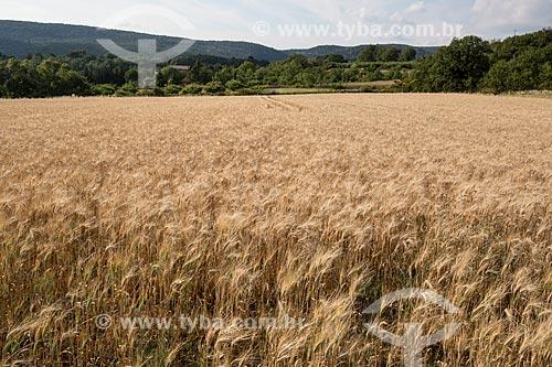 Plantação de trigo no Parc Naturel Régional du Luberon (Parque Natural Regional do Luberon)  - Apt - Departamento de Vaucluse - França